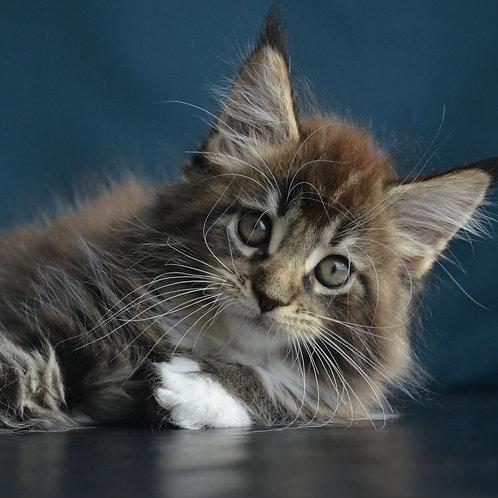 Teia Maine Coon female kitten