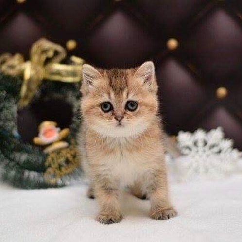 Holly purebred British shorthair female kitten