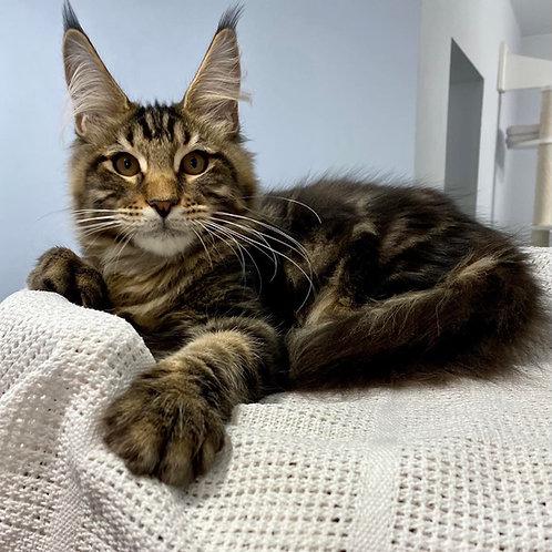 764 Xilomen Maine Coon male kitten