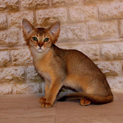 Galatea purebred Abyssinian female kitten