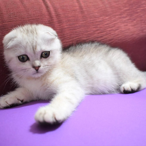 Benjamin Scottish fold male kitten