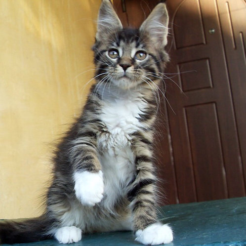 King Robert purebred male Maine Coon kitten in a tiger with whitecolor