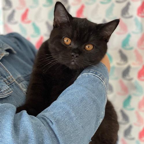 353 Givenchy British shorthair male kitten