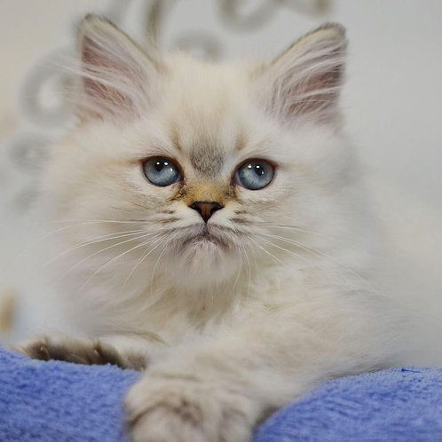 Tina Scottish straight longhair female kitten
