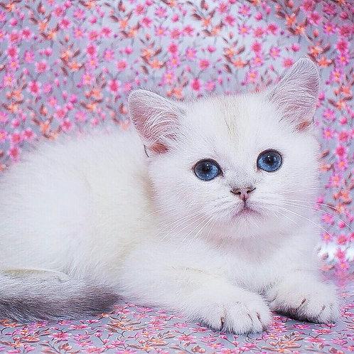 Brunei Scottish straight shorthair male kitten
