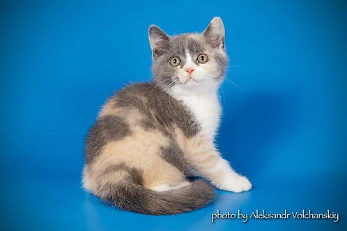 Marta purebred British shorthair female kitten