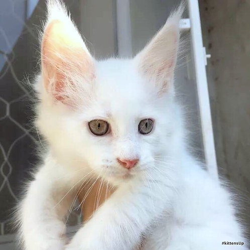 Arnold purebred Snow White male Maine Coon