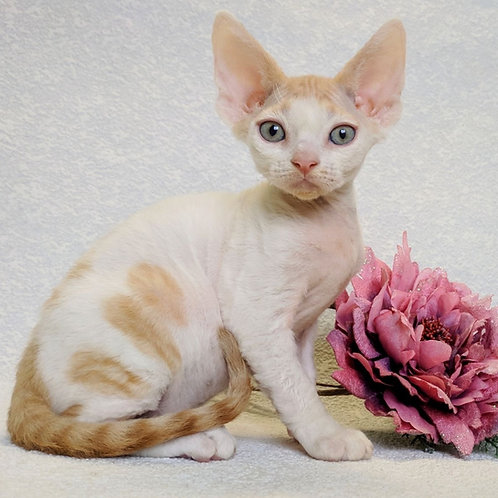 Oliver Devon Rex kitten