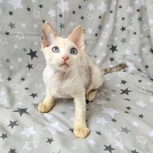Kerry black tortie harlequinpoint color female kitten Devon Rex