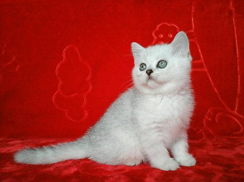 Almond purebred Scottish fold kitten in a chinchilla color