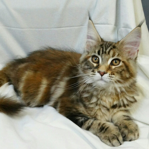 Jacky Maine Coon marble tortie color female kitten