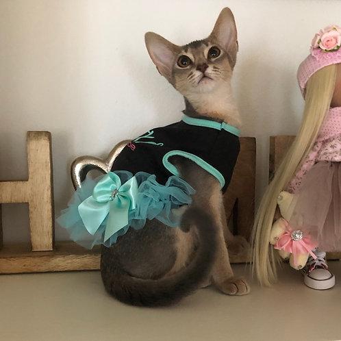 Lili purebred Abyssinian female kitten
