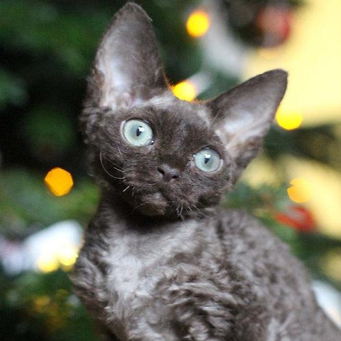 Browny male kitten Devon Rex