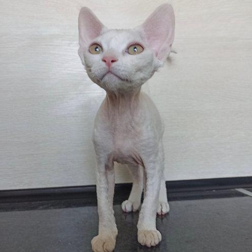Iness female kitten Devon Rex