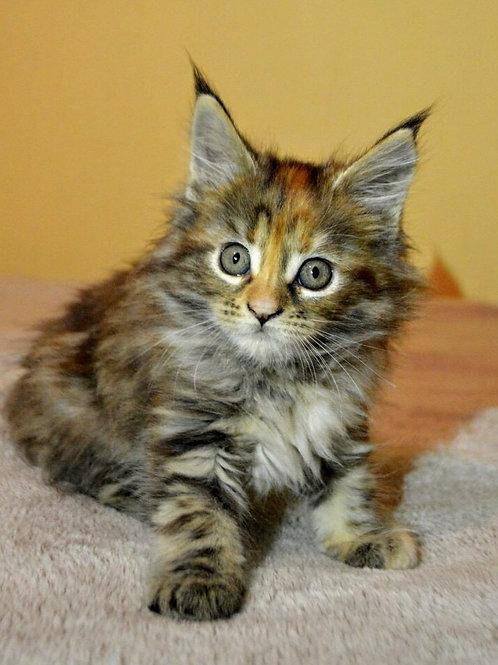 Zara Maine Coon female kitten