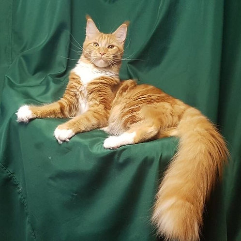 Ari purebred red marble color female Maine Coon