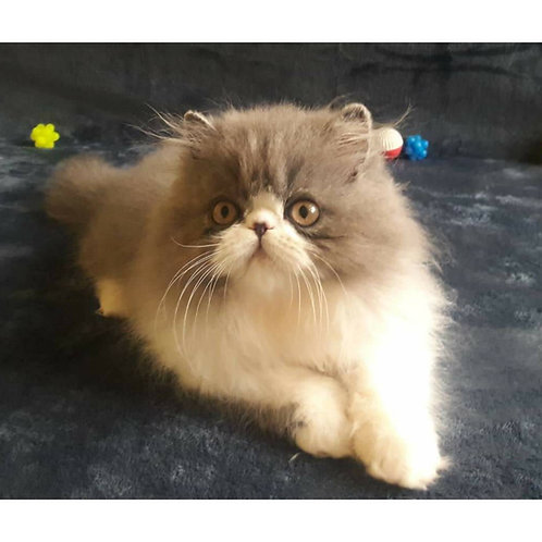 Tom Persian male kitten