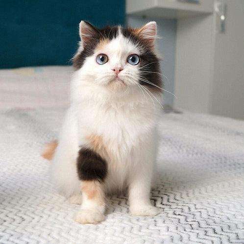 Africa Scottish straight longhair female kitten