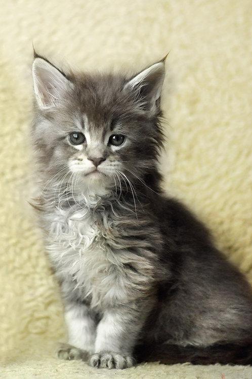 Irbis Maine Coon kitten
