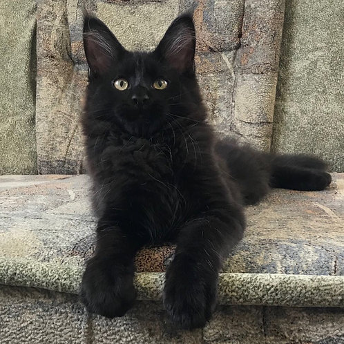 Bruno Maine Coon in a black color