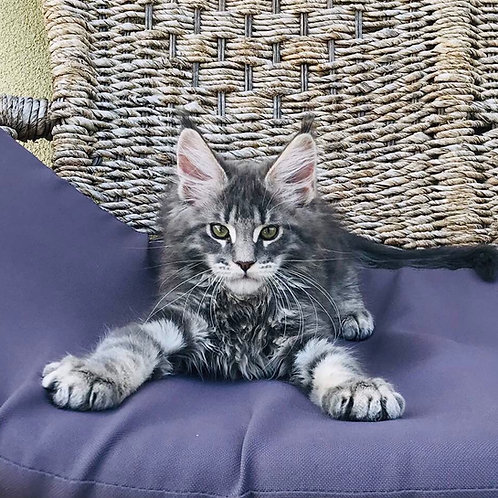 X'Barney Maine Coon in a blue marble color