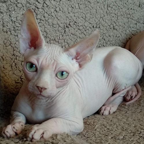 Beerus male Sphinx kitten