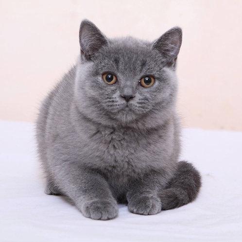 Talia purebred British shorthair female kitten