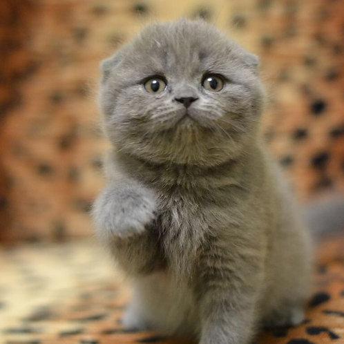 Asol purebred Scottish fold kitten in a blue color