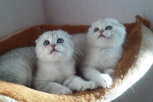 Camrad Scottish fold shorthair male kitten