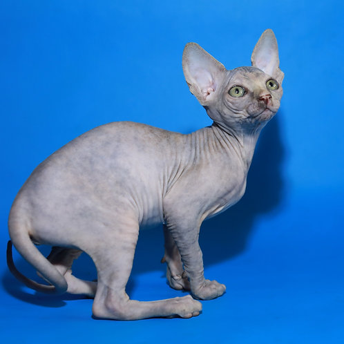 Madame female Sphynx kitten