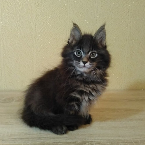 Hemingway Maine Coon black marble male kitten