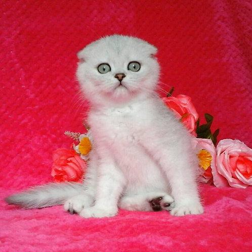 Daniel chinchilla color Scottish fold male kitten