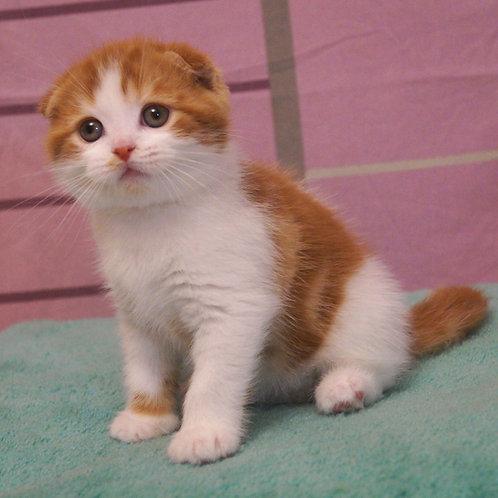 Vitus Scottish fold male kitten