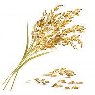 รวงข้าว rice-grain.jpg