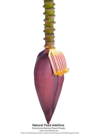 สารสกัดหัวปลีกล้วยผงเข้มข้น บำรุงน้ำนม.j