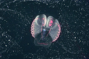 Larvaceans are making a splash in the news