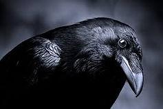 a raven.jpg