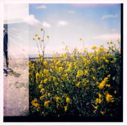 Wild Mustard, Highway 1