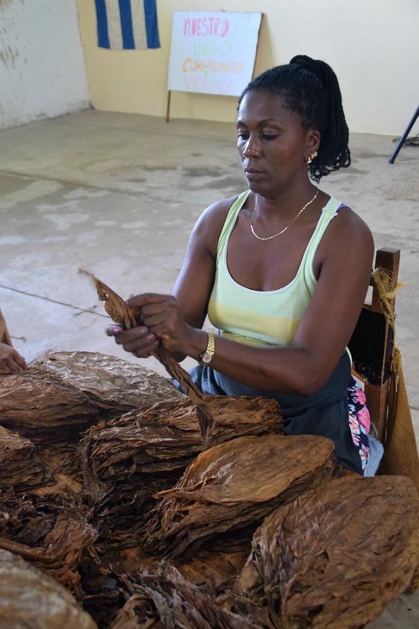 Tobaksbladene sorteres
