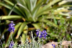 Blå_blomst_Colca.jpg