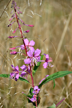 Hærvej_12-09-16_lilla_blomst