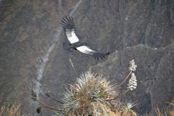 Kondor - fotograferet af Hjalte