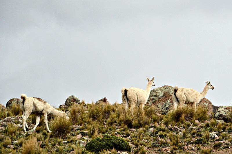 Lamaer i stenlandskab