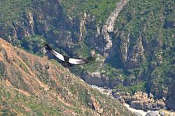 Condor I.jpg