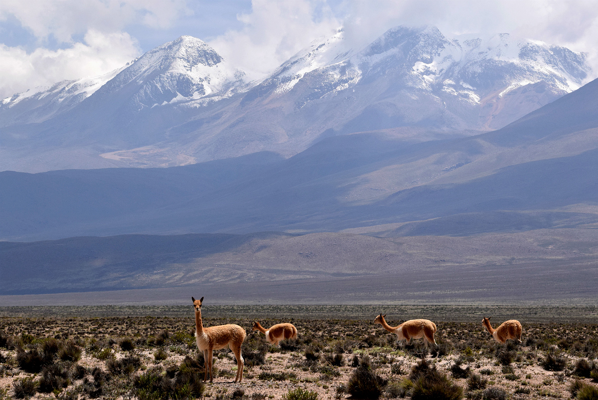 Vicuñaer ved Chachani