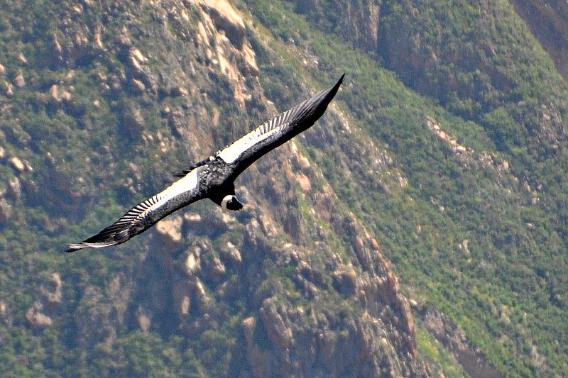 Condor II.jpg