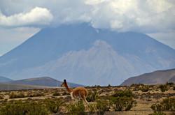 Vicuña ved Misti - på vej til Colca