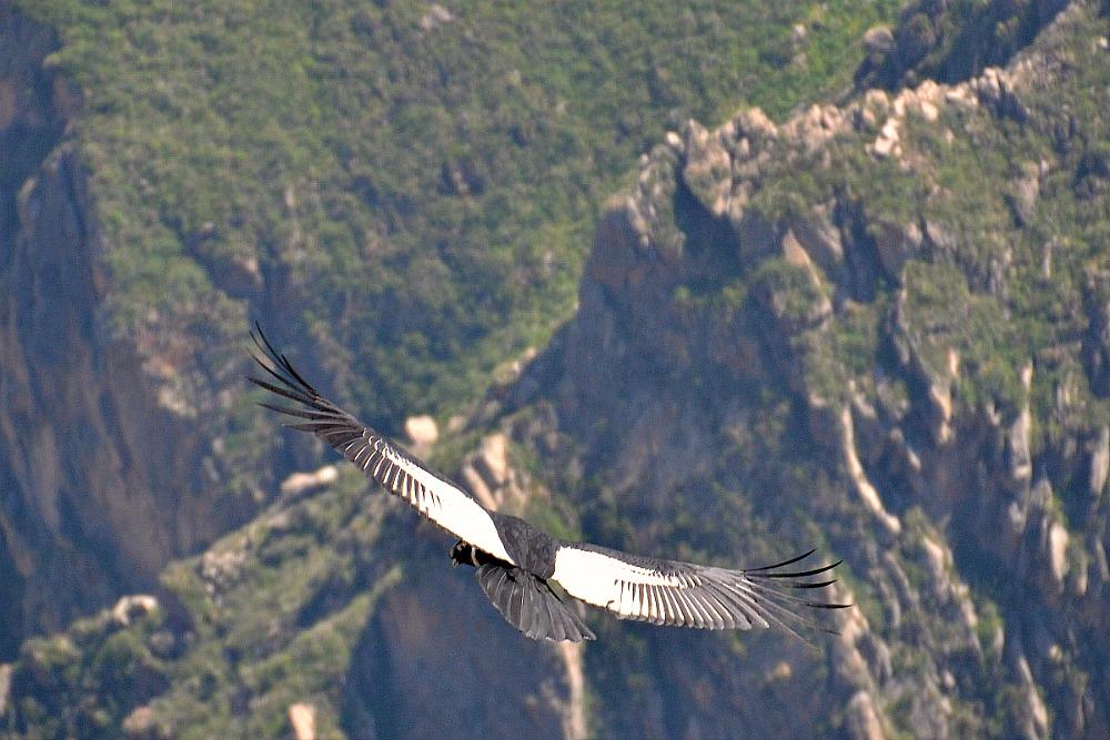 Condor III.jpg