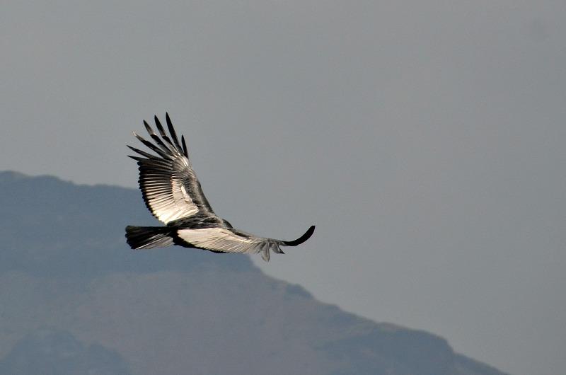 Kondor i bjergene over Colca-dalen