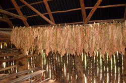 Tobaksblade hænger til tørre